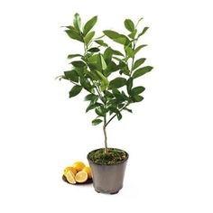 от чего опадают листья у лимона комнатного