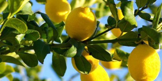 Деревья лимона