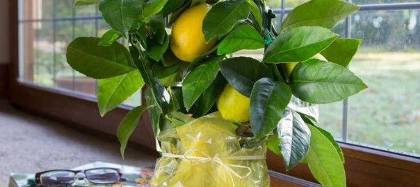mini-lemon-tree-gift-19