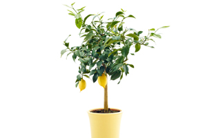 lemon_tree_pot_indoor_citrus