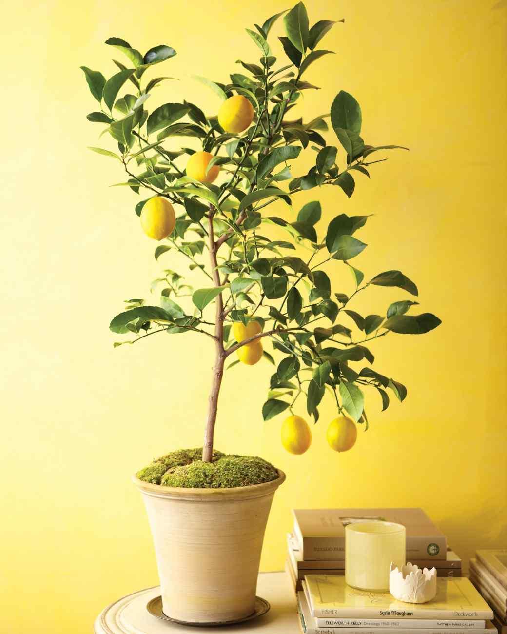 Уход за лимона в домашних условиях