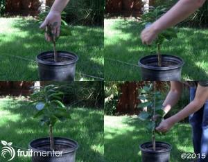 citrus-rootstock-suckers