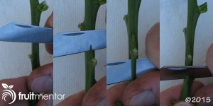cutting-citrus-bud