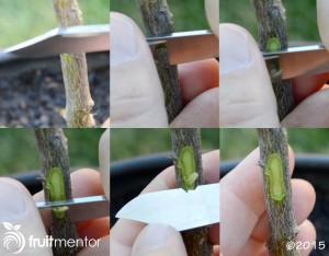 cutting-citrus-rootstock