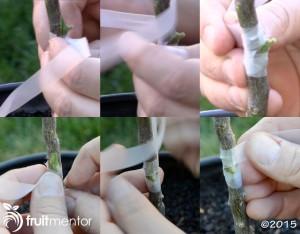 parafilm-wrapping-citrus-graft
