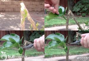 removing-citrus-rootstock